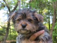 Adorable teddy bear Morkie male looking for his forever