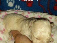 5 CKC registered male peek-a-poo puppies. Will have