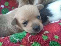 Mother is AKC Pomeranian daddy is the teacup Chihuahua