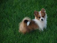 OCKC REGISTERED BROWN AND WHITE PARTI COLORED MALE POM.