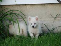 CKC REGISTERED CREAM AND WHITE MALE POM. CUTE, CUDDLY,