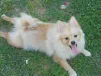 I have a small CKC Pomeranian that started out Cream as