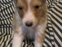 I have a Gorgeous Male Sable Merle Sheltie puppy he is