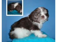 CKC Liver chocolate and white parti male who is ready