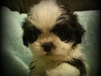 I have three male shih tzus. They are UTD on shots and