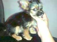 I am selling my 11 week old male teacup chorkie I