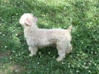 I have a two year male Poodle.He's Apricot in color.I