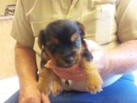 CKC MALE YORKIES FOR SALE, DOB OCT.3,MOM IS A 7LB