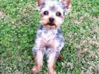 Here is a TINY TINY TINY male CKC Reg Yorkie, YOGI is
