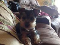 I have a male yorkie for sale. His name is Larry. He