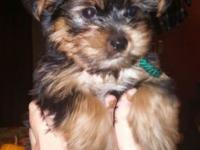 We have 4 extremely lovable male yorkies. They had