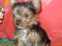 Small Male Yorkie puppy. Will be appx 4 lbs full grown.