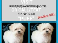 Puff (photo 9/4/15) is a CKC maltese ready for