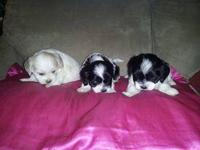 Cute CKC Maltese/Cocker puppies for sale. 3 males and 3