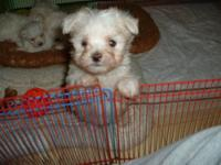 I have a male Maltese pup , born 12/31/2012, for $425.
