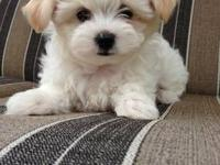 I have a 7 weeks Maltese Male and Female,born on
