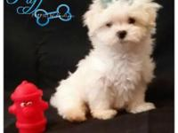 Puff is a male maltese that was born on June 14th. He