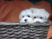 Beautiful maltese puppies with CKC papers and vaccines