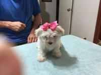Have 3 Maltese females ready on the 24 Oct. 2015. Has