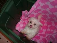CKC registered Maltese Puppies. I have 4 males