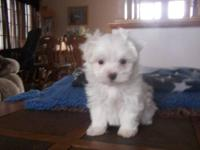 I have 1 male Maltese puppy available, he was born on