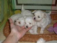 I have a litter of Maltese pups , born 1/9/2012. I have
