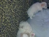 CKC Maltese pups for sale. They are ready now for new