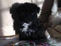 CKC Malti-Poo Puppies $400. 3 Males, Daddy is CKC