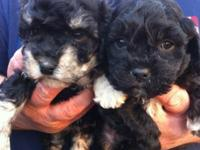 CKC Maltipoo puppies-- simply 2 guys left! They will
