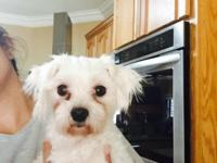 Ckc Maltipoo 1 year old she is its on shots comes with
