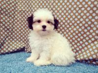 2 Maltipoo Males readily available, white with black