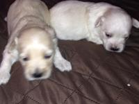 CKC Male Pups. I am taking deposits on Maltipoo pups. I