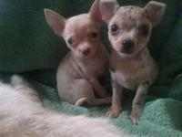 We have 2 Beautiful Merle Chihuahua puppies ready for