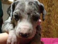 Luna is a Merle Great Dane. She is a year old and