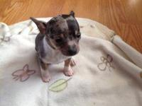 CKC Chihuahua puppies. Born 1/6/13. Will be vet checked