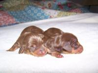 CKC Reg. Min.Dachshund Puppies 1-Female (Dark