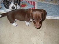 1 beautiful chocolate piebald male will be small, 1