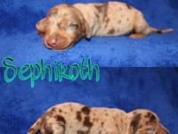Mini Dachshund puppies Will be microchipped, vet