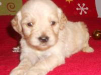 Awesome Mini Multigene Labradoodle Puppies !!! They are
