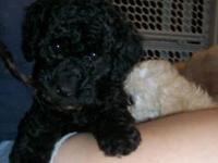 CKC registered Miniature Poodle Puppies born July