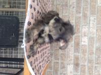 I have Mini Schnauzer pups, 10 weeks old , 1st