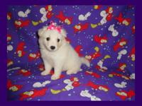 CKC registered Female miniature American Eskimo puppy,