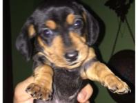 Taking deposits on this adorable Miniature Dachshund