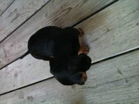 I have three adorable miniature dachshund puppies. They