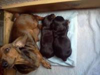 Adorable AKC/CKC mini Dachshund puppies available.