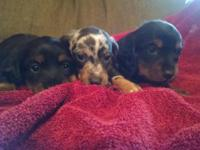 5 ckc registered minature dachshund puppies for sale. 2
