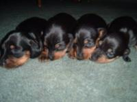 Ckc MINIATURE DACHSHUND PUPPIES FOR SALE.SELLING FOR