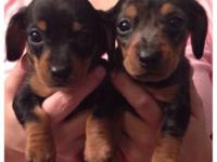 CKC Baby Dachshund Shorthaired Puppies. 1-Black/tan