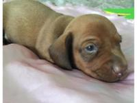 CKC Miniature Dachshund Puppies 2-Chocolate Based Red