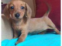 For Sale: Beautiful CKC Miniature Dachshund Puppies Our